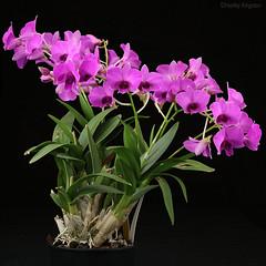 Dendrobium bigibbum 'Compact Cookies' (Harlz_) Tags: dendrobiumbigibbum compactcookies dendrobium cooktownorchid orchid pink flowers canon 5dmarkiv 24105mm australia native