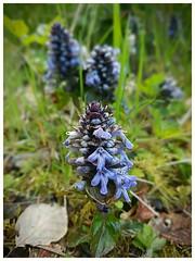 bugle (Gi8SKN) Tags: bugle wildflowers purple ireland antrim carrickfergus samsung galaxy s7 gi8skn cameraphone