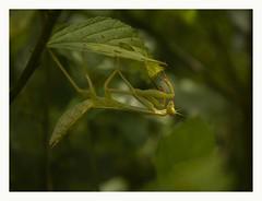 Mantis II (Nico Cascante) Tags: green verde ecuador nanegal nature naturaleza mantis mantisii canon eos t3 rebel 55 56 400 pichincha