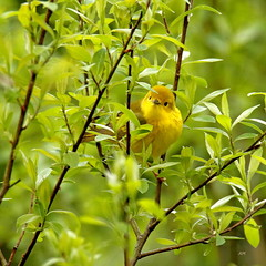 Paruline jaune / Yellow warbler (alainmaire71) Tags: oiseau bird jaune yellow parulidae parulidés dendroicapetechia parulinejaune yellowwarbler paruline warbler nature quebec canada