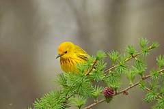 Paruline jaune / Yellow Warbler (alainmaire71) Tags: bird parulidae parulidés dendroicapetechia parulinejaune yellowwarbler paruline warbler nature quebec canada oiseau jaune yellow