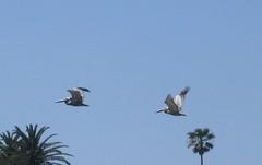 Pelicans (rasputina2) Tags: leocarillostatepark beach pelican tidepool