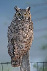 Great-horned Owl (ssiegel16) Tags: backyard greathornedowl owl raptors
