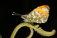Orange Tip Butterfly (Rowan Castle) Tags: img5382 butterfly orangetip uk insect lepidoptera macro canon 5dmkiii glasdrum scotland