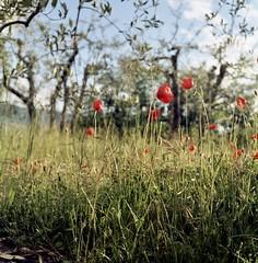 Spettacolo rosso (michele.palombi) Tags: papaveri film 120mm 100asa colortec c41 negativo colore arezzo tuscany