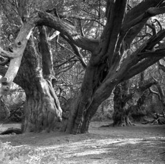 Ancient yew forest (4foot2) Tags: ancientyewforest kingleyvale chichester trees yew taxusbaccata taxus ancient forest analogue film filmphotography 120film mediumformat bw blackandwhite monochrome mono kiev kiev88cm 88cm киев88cm ukrainiancamera hasselbladski biometar carlzeissjenabiometar80mm28 carlzeissjena biometar80mm28 carl zeiss jena 80mm 28 ilford ilfordhp5plus hp5plus standdevelop rodinal 2019 fourfoottwo 4foot2 4foot2flickr 4foot2photostream
