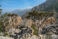 Euphorbia_arbuscula (tmasilko) Tags: socotra