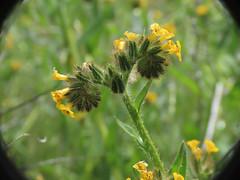 Common Fiddleneck (Boraginaceae, Amsinckia menziesii) (aking1) Tags: amsinckiamenziesii boraginaceae commonfiddleneck places ranchocuyamacastatepark julian california unitedstatesofamerica