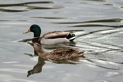 Mallards (hopping_jay) Tags: birds birding birdwatching birdphotography klamathcounty oregon southernoregon mallard mallards duck ducks anasplatyrhynchos anatidae