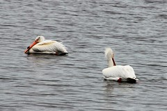 American White Pelicans (hopping_jay) Tags: birds birding birdwatching birdphotography klamathcounty oregon southernoregon pelecanuserythrorhynchos pelican pelicans pelecanidae