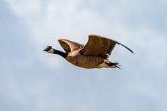 Honker Flyby (lennycarl08) Tags: goose birds waterfowl
