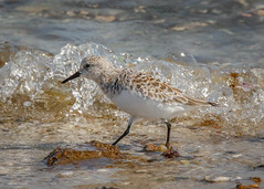 Semipalmated Sandpiper (lablue100) Tags: sandpiper bird birds animals walking feathers sea water bay waves shoreline action colors beauty small landscapes