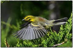 Praire Warbler 3ways (RKop) Tags: raphaelkopanphotography eastforklake ohio d500 600mmf4evr 14xtciii nikon