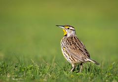 Eastern Meadowlark (Jamie Lenh Photography) Tags: nature wildlife birds easternmeadowlark nikon tamron florida usa jamielenh