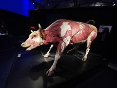 Animals Inside Out - Manitoba Museum of Man and Nature (TheSamuelYears) Tags: animalsinsideout touringexhibit animal animals museum winnipeg wpg canada manitobamuseumofmanandnature manitobamuseum manitoba indoors indoor huawei huaweip30pro exhibit bull