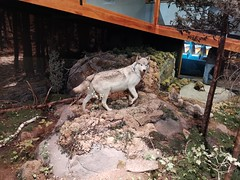 Manitoba Museum of Man and Nature (TheSamuelYears) Tags: museum winnipeg wpg canada manitobamuseumofmanandnature manitobamuseum manitoba indoors indoor huawei huaweip30pro wolf wolves exhibit animals animal