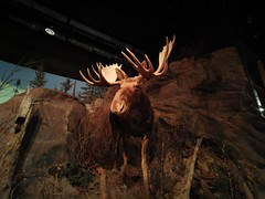 Manitoba Museum of Man and Nature (TheSamuelYears) Tags: museum winnipeg wpg canada manitobamuseumofmanandnature manitobamuseum manitoba indoors indoor huawei huaweip30pro moose exhibit animals animal