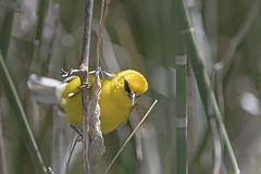 (sgtsalamander) Tags: nikon d500 nikkor 300f28 bird pointpeleenationalpark migration bluewingedwarbler vermivoracyanoptera