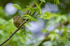 Bird Watching (Litratistica Images NYC) Tags: bird green litratisticaimages earldolphy leaves bokeh dof streetphotographer brooklyn prospectpark nyc newyorkcity