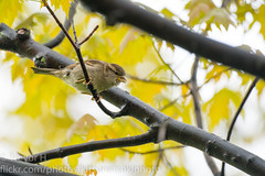 Sparrow in a Tree (Kenjis9965) Tags: sonya7iii 150600mmf563dgoshsm|c sigma 150600mm f563 dg os hsm contemporary sony a7iii alpha bird robin spring sparrow house sitting bench tree leaves foliage