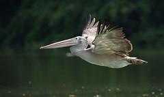 Spot-billedPelican RanganathittuBirdSanctuary@Karnataka@India 27.3.19 #spotbilledpelican #pelican (drpunyabratabarma) Tags: spotbilledpelican pelican ngc