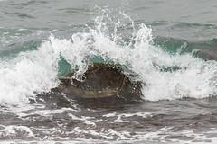Green Sea Turtle Battling the Surf (dmills727) Tags: hawaii hookipabeachpark maui herp reptile turtle