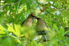 Cedar Waxwings (Eric E Haas) Tags: lens sony70300mmgii animals birds bombycillacedrorum cedarwaxwing passeriformes waxwings lothian maryland unitedstatesofamerica
