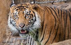 Rakan (ToddLahman) Tags: rakan sumatrantiger sandiegozoosafaripark safaripark tiger tigers tigertrail closeup portrait photooftheday profileheadshot photography photographer outdoors mammal male beautiful nikond500 nikonphotography nikon