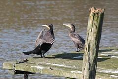 #cormorane#vogel (tatjana.lerke) Tags: vogel cormorane