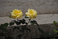 Florence American Cemetery (Elizabeth Almlie) Tags: italy florence florenceamericancemetery cemetery nationalcemetery roses yellow