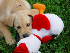 I Like Toys (arlinescottphotography.com) Tags: arlinescottphotography applegate loop puppy dog yellow labrador retriever southbays phoebe snow angel wings stuffy toy play kennel cute cuteness overload toe beans washington state rochester 2004 vancouver station