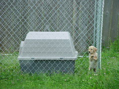 Kennel Time (arlinescottphotography.com) Tags: arlinescottphotography applegate loop puppy dog yellow labrador retriever southbays phoebe snow angel wings stuffy toy play kennel cute cuteness overload toe beans washington state rochester 2004 vancouver station