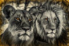 Canvas Pride (PhilHydePhotos) Tags: africa botswana kuando kwando lagooncamp lions okavangodelta safari wildlife lion lioness