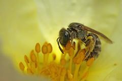 Small sweat bee feeding on potentilla #1 (Lord V) Tags: macro bug insect bee sweatbee lasioglossum
