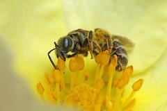 Small sweat bee feeding on potentilla #2 (Lord V) Tags: macro bug insect bee sweatbee lasioglossum