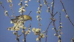 Perfect balance (- A N D R E W -) Tags: chiffchaff primavera blue a7rii sony mirrorless tamron 150600mm
