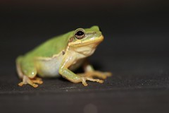 Squirrel Tree Frog (Zach Hawn) Tags: gulfcoast ussouth south southernus gulfofmexico wildlife animals nature naturenerd outdoors biodiversity gulfstates florida amphibians herps frog toad
