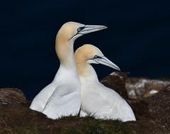 DSC_2094_00001 (Karantez vro) Tags: sea bird vogel oiseau seevogel rspb north east 250 crovie pennan