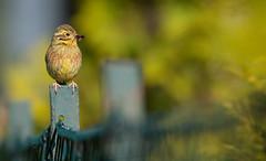 Bunting on a fence....I really love this little Bird (hardy-gjK) Tags: bird vogel oiseau natur wildlife nature prey beute fliege fly zaun fence hardy nikon animal love