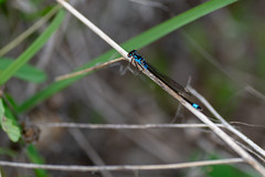 Be the Stick (LadyBMerritt) Tags: damselfly insect macro bug nature spring blue