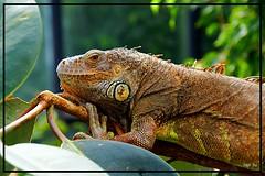 Leguan (tingel79) Tags: animal zoo natur nature world iguana photography photographie sony