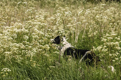 No Respect (sharongellyroo) Tags: dodge bordercollie longmelford suffolk umbellifer umbelliferwednesday huw