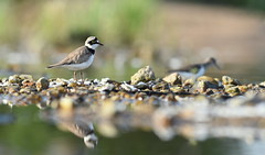 Petit gravelot (Guillaume Dardant) Tags: nature sauvage oiseaux bird loiret loire d810 nikon 300mmf28 limicole charadriiformes charadriidés petitgravelot charadriusdubius littleringedplover affût