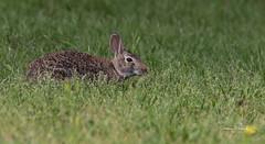 Eastern Cottontail (Stephen J Pollard (Loud Music Lover of Nature)) Tags: sylvilagusfloridanus conejoserrano conejodecolablanca cottontailrabbit easterncottontail mammal mamífero rabbit conejo