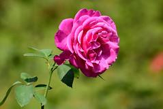 _DSC3896 (SHAN DUTTA) Tags: pink rose nikond5300 flower 2019
