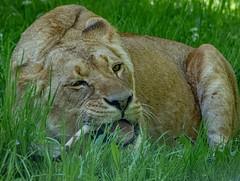 XT2F4699 (James Ito) Tags: animal england longleat longleatsafaripark places lion warminster unitedkingdom