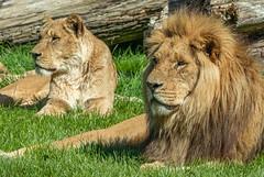 XT2F4567 (James Ito) Tags: animal england longleat longleatsafaripark places lion warminster unitedkingdom