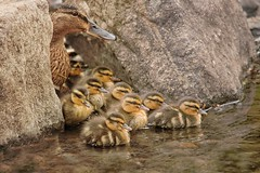 Nine! (ianderry64) Tags: life egg hatch river leicestershire park bradgate brood fluff duck mallard family sisters brothers siblings mum ducklings chicks nine