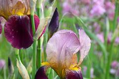 Les Iris (Croc'odile67) Tags: nikon d3300 sigma contemporary 18200dcoshsmc fleurs flowers nature gouttedeau