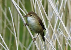 Reed Warbler (grahamhicks52) Tags: wildlife warbler songbird